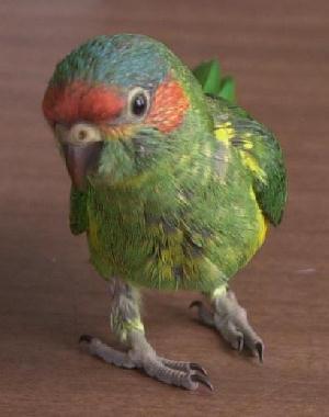 how to train a baby rainbow lorikeet