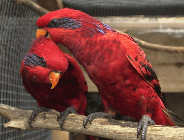 african parrot blue streaked lory habitat